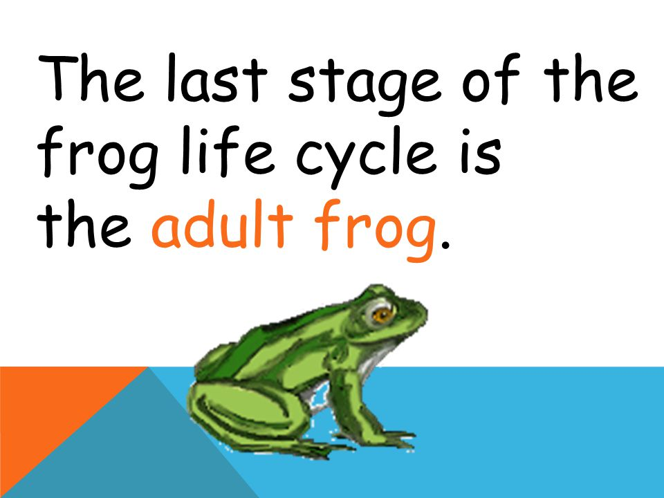 The last stage of the frog life cycle is the adult frog.