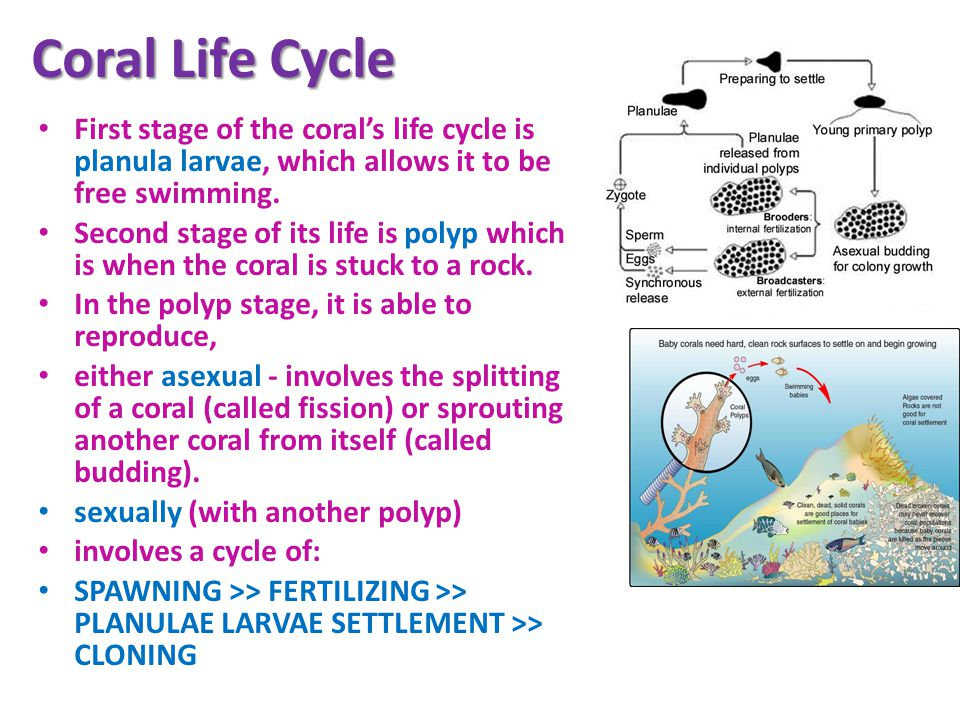 Coral Life Cycle First stage of the coral's life cycle is planula larvae, which allows it to be free swimming.
