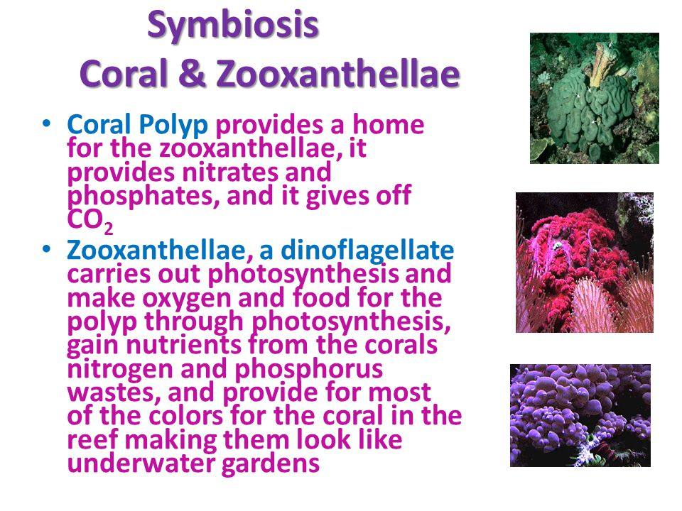 Symbiosis Coral & Zooxanthellae