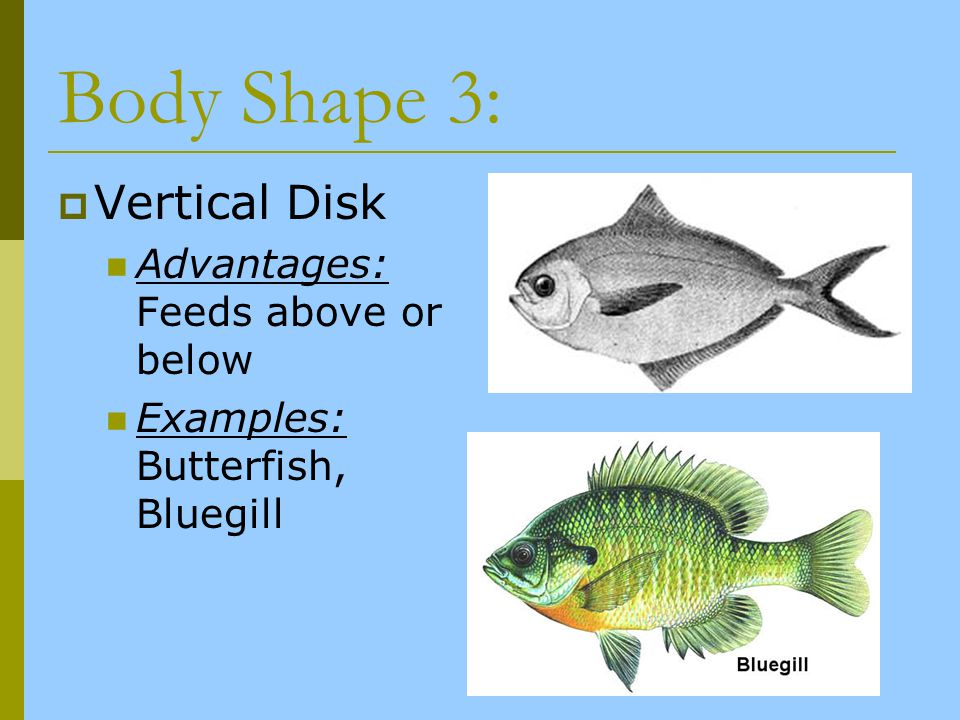 Body Shape 3: Vertical Disk Advantages: Feeds above or below