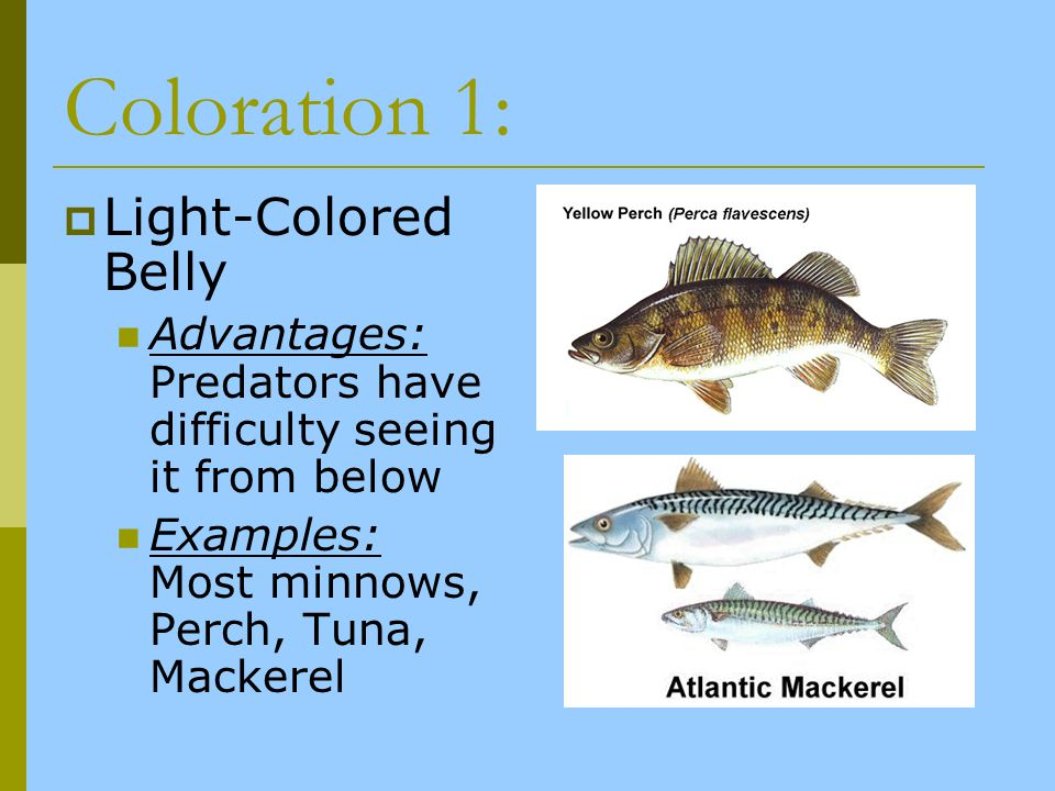 Coloration 1: Light-Colored Belly