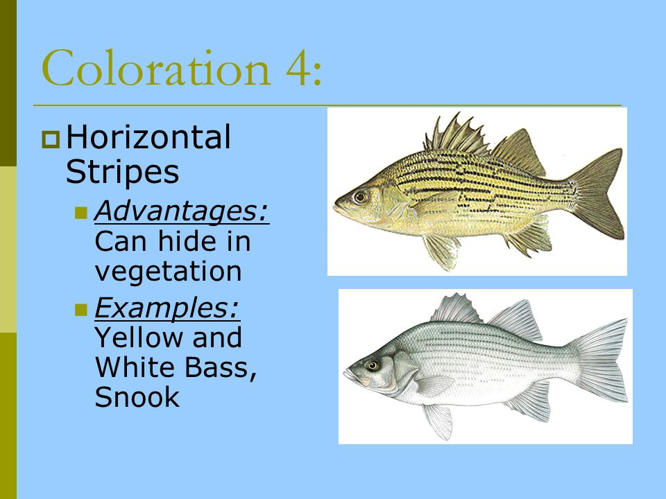 Coloration 4: Horizontal Stripes Advantages: Can hide in vegetation