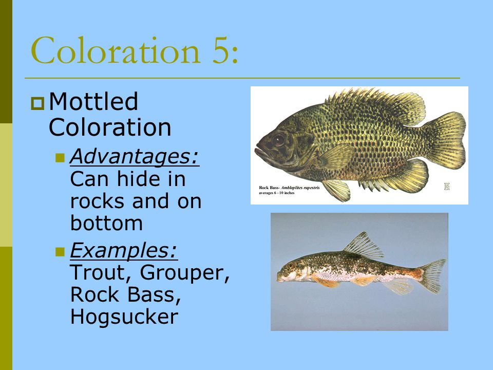 Coloration 5: Mottled Coloration