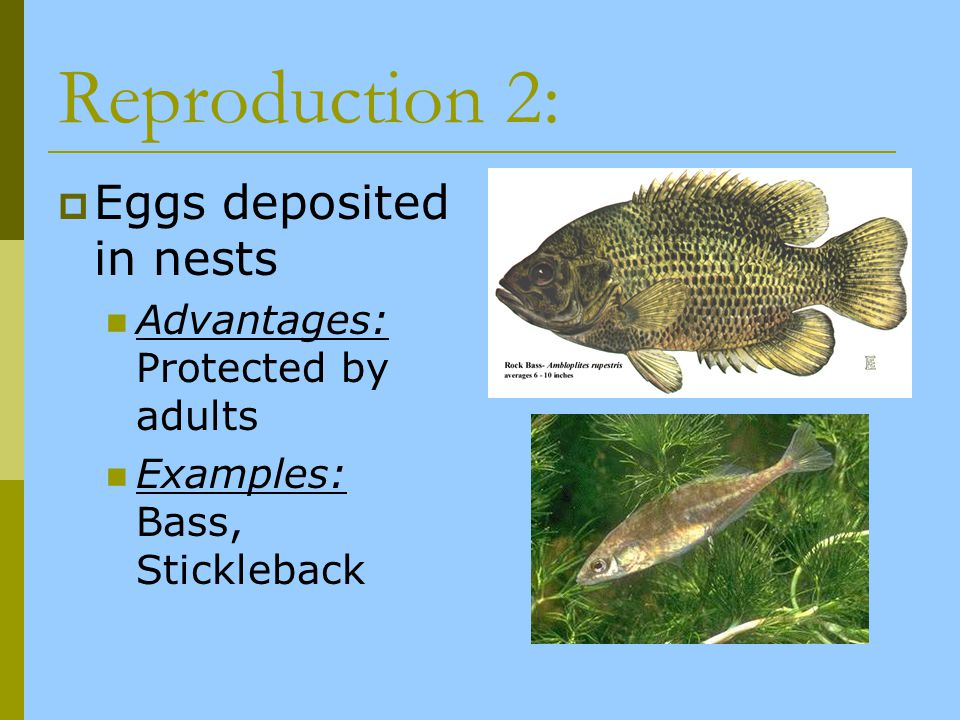 Reproduction 2: Eggs deposited in nests