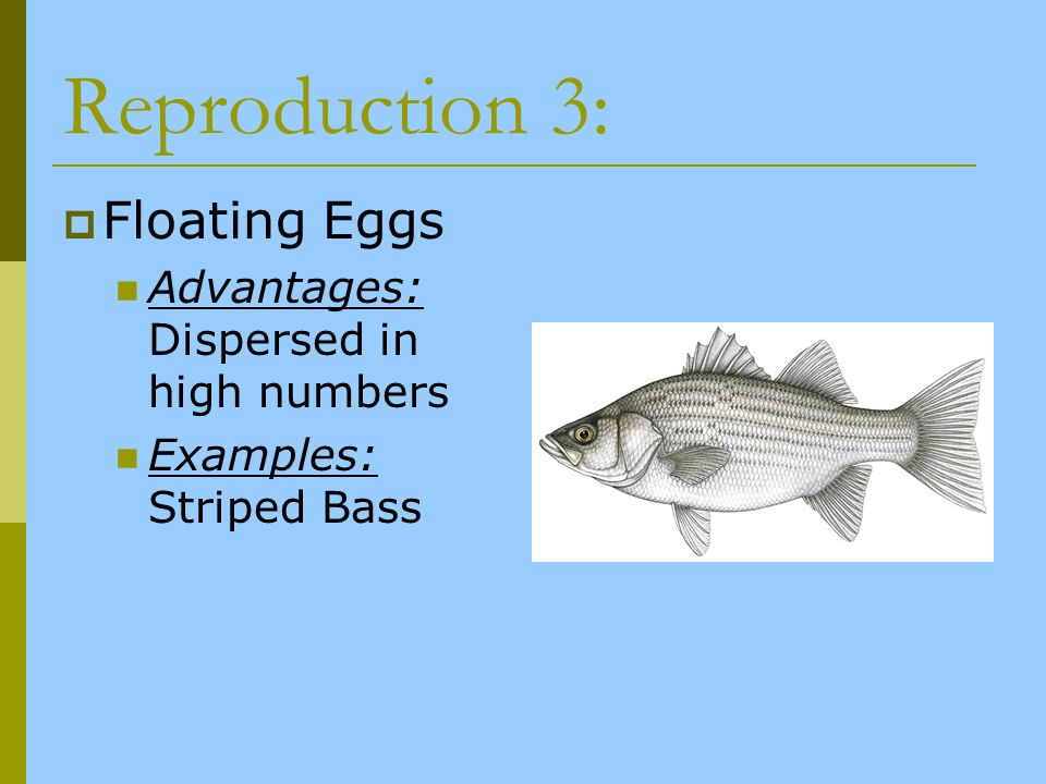Reproduction 3: Floating Eggs Advantages: Dispersed in high numbers