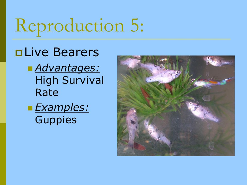 Reproduction 5: Live Bearers Advantages: High Survival Rate