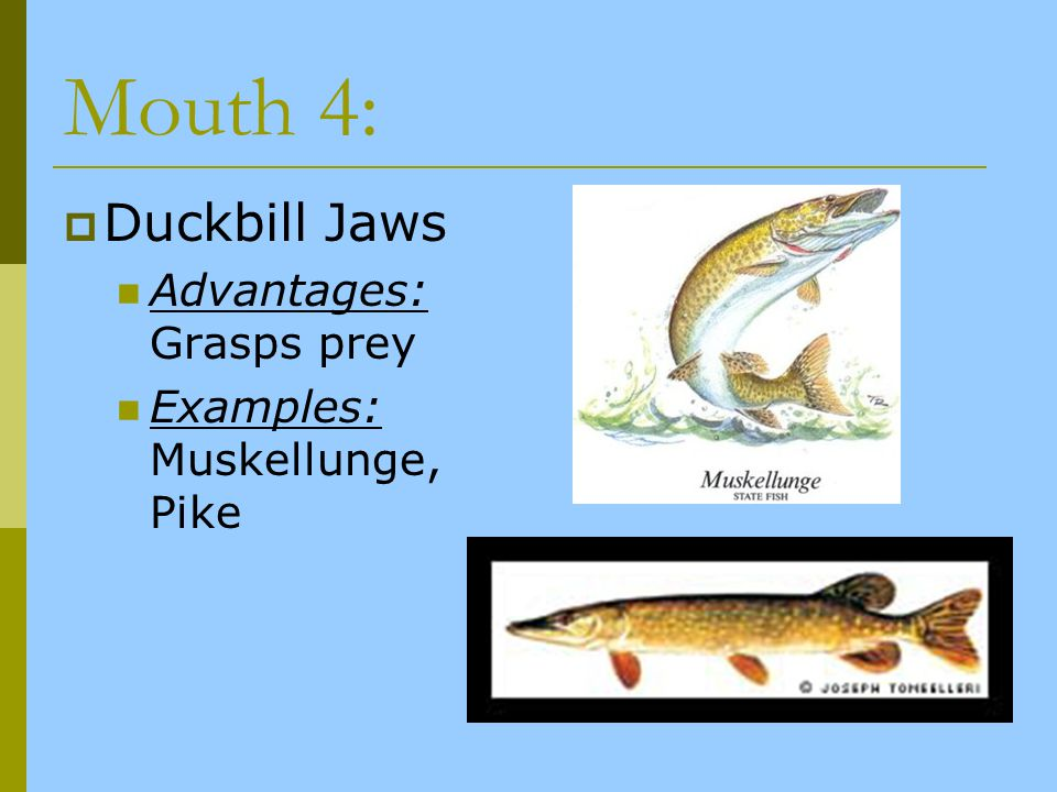 Mouth 4: Duckbill Jaws Advantages: Grasps prey
