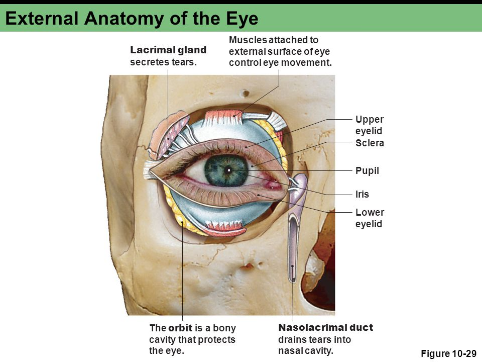 Outer Eye Anatomy Images Human Body Anatomy
