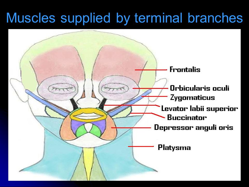 Muscles supplied by terminal branches