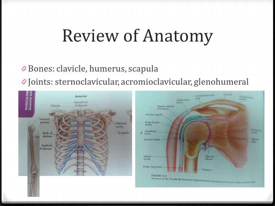 Review of Anatomy Bones: clavicle, humerus, scapula