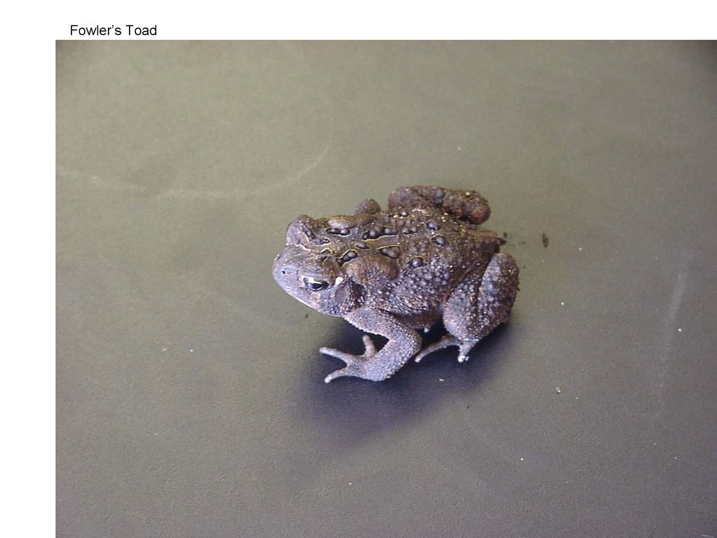 Fowlers Toad No white stripe down back  Sound like its's screaming