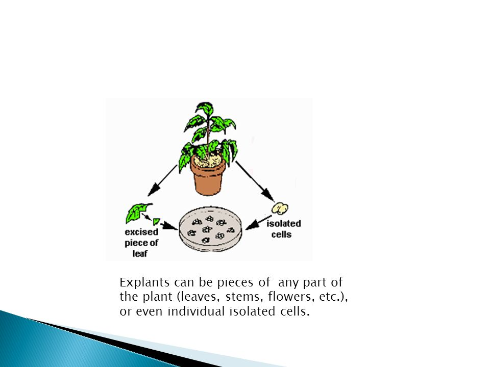Explants can be pieces of any part of the plant (leaves, stems, flowers, etc.), or even individual isolated cells.