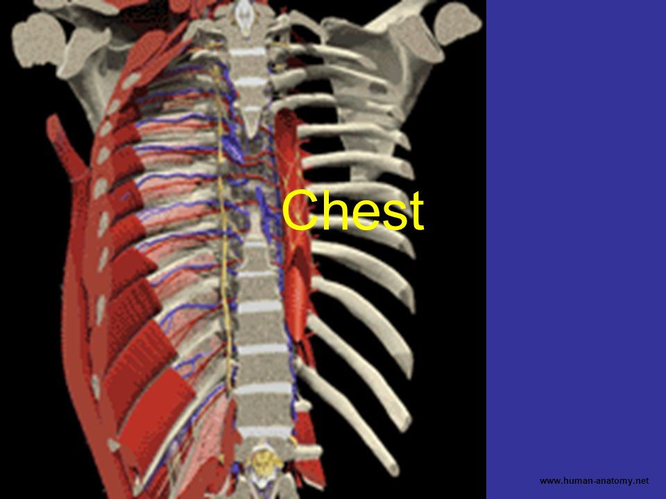 Chest www.human-anatomy.net