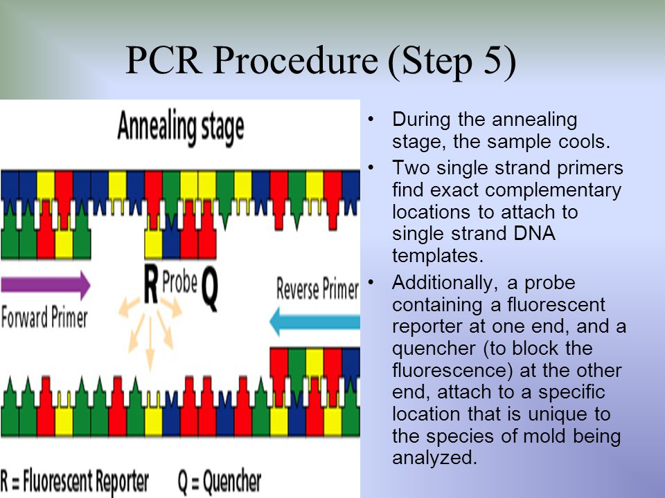 PCR Procedure (Step 5) During the annealing stage, the sample cools.