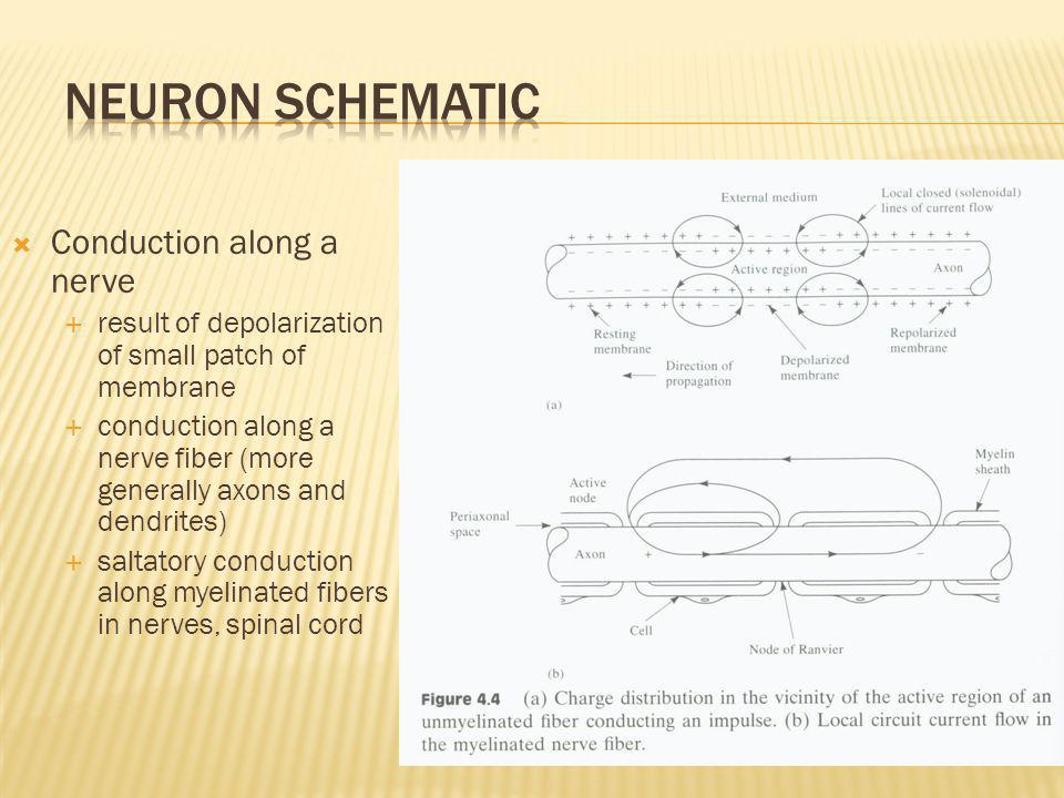 Neuron Schematic Conduction along a nerve