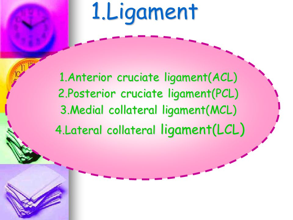 1.Ligament 1.Anterior cruciate ligament(ACL)