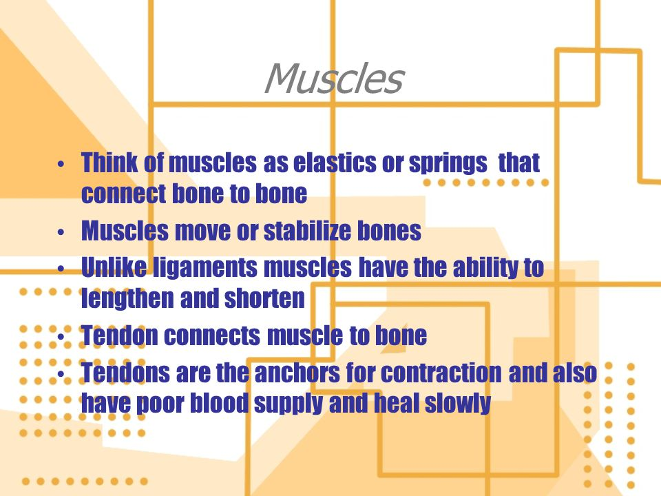 Muscles Think of muscles as elastics or springs that connect bone to bone. Muscles move or stabilize bones.