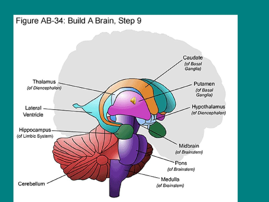 A Brain System That Appears To >> This Presentation Will Help You Understand The Brain Ppt Download