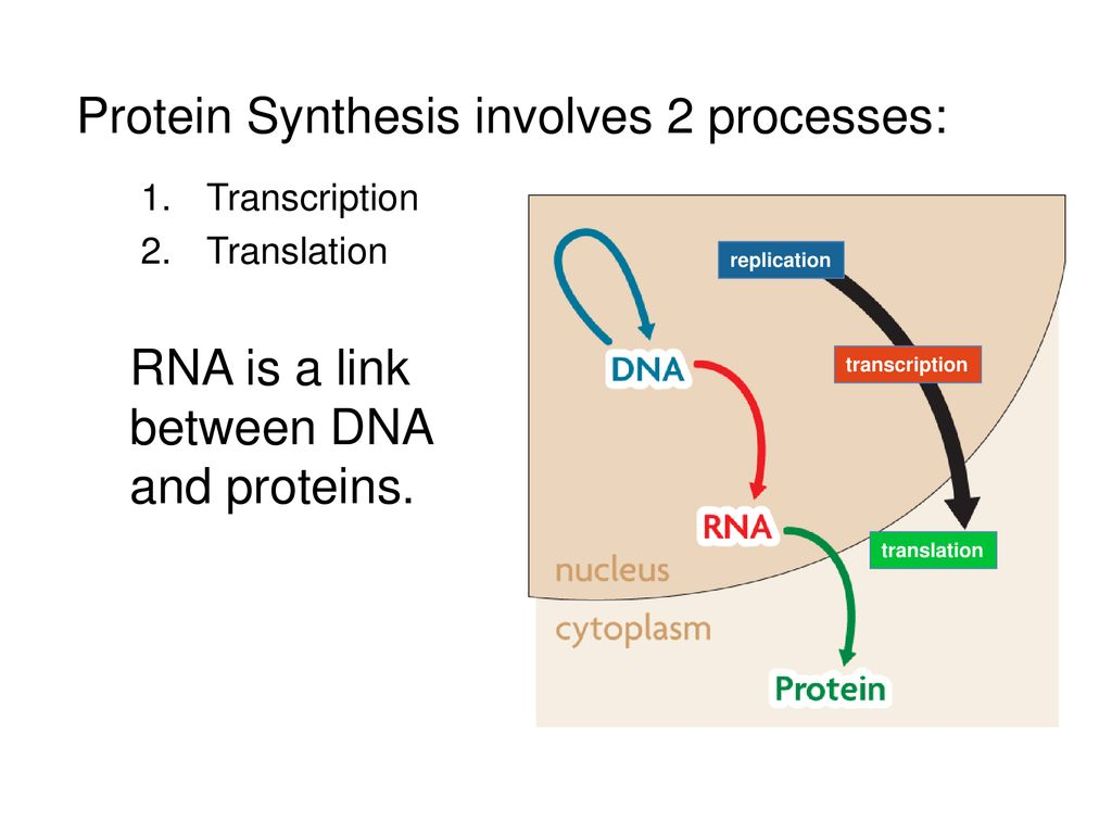 Topic 2 Dna Dna Replication Protein Synthesis Ppt Download