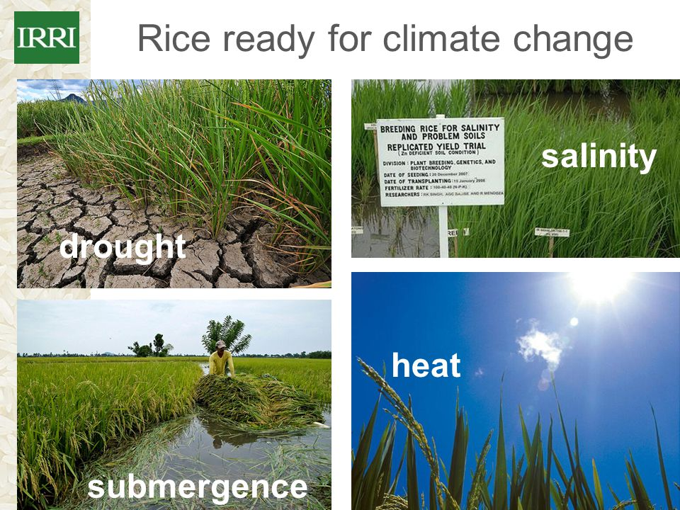 Rice ready for climate change