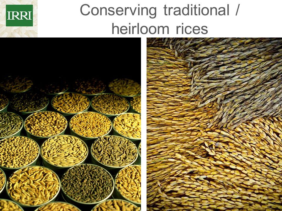 Conserving traditional / heirloom rices