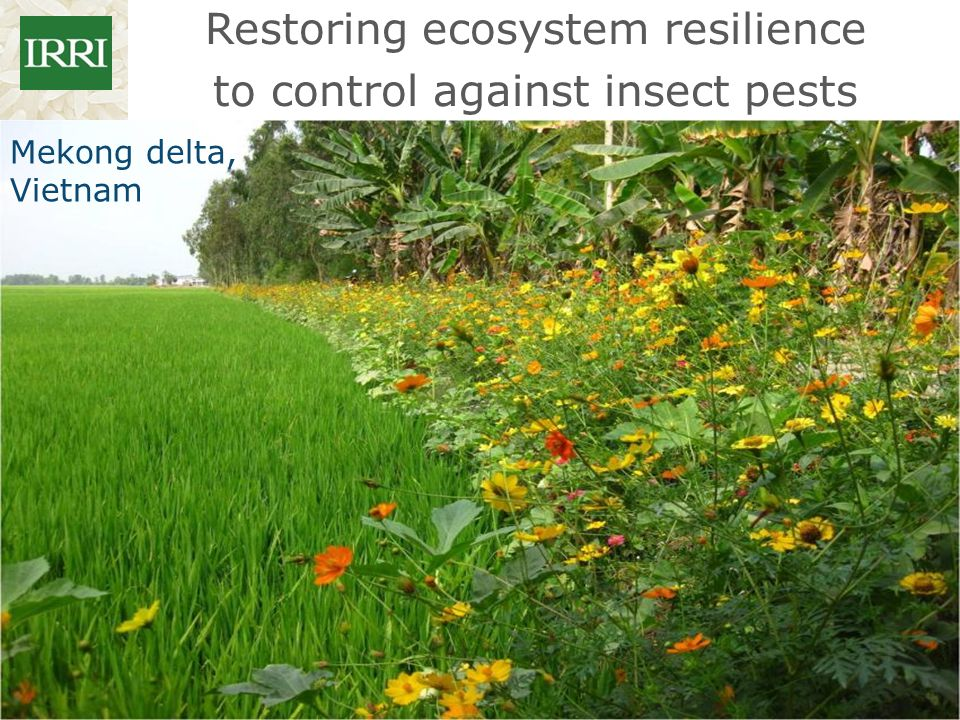 Restoring ecosystem resilience to control against insect pests