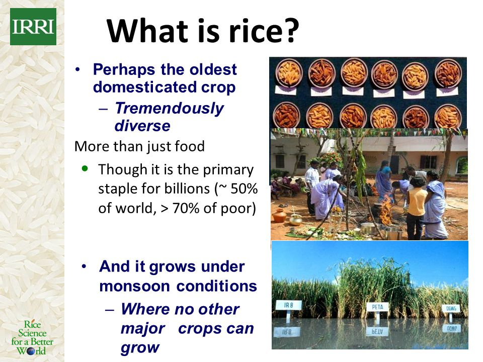 What is rice Perhaps the oldest domesticated crop