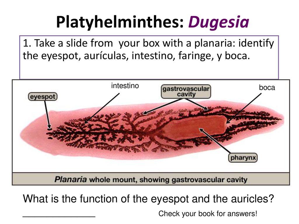 ciclo de vida filo platyhelminthes)