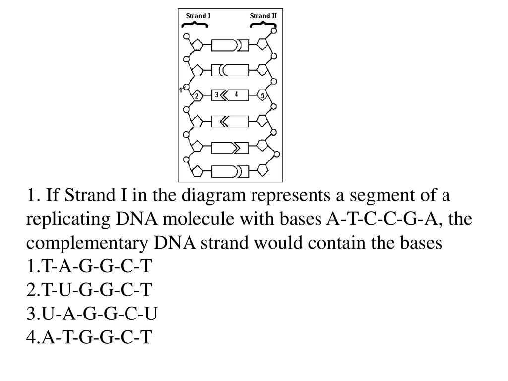 if strand i in the diagram represents a segment of a replicating dna  molecule