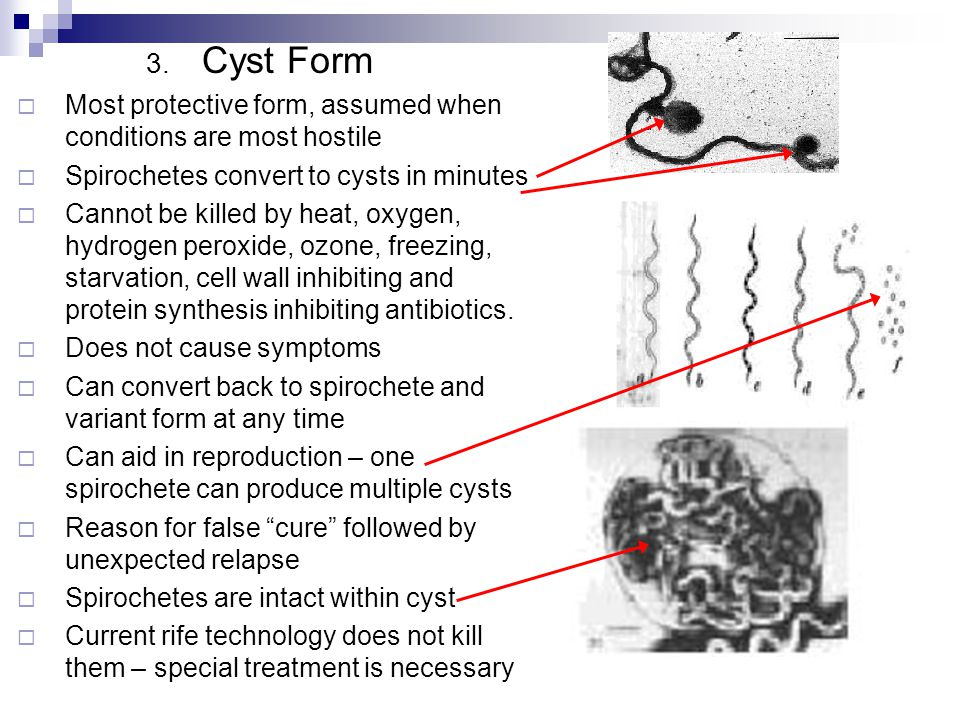 Cyst Form Most protective form, assumed when conditions are most hostile. Spirochetes convert to cysts in minutes.