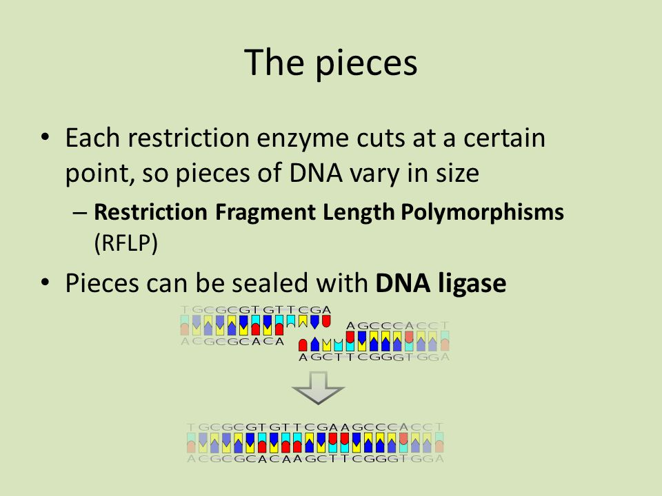 The pieces Each restriction enzyme cuts at a certain point, so pieces of DNA vary in size. Restriction Fragment Length Polymorphisms (RFLP)