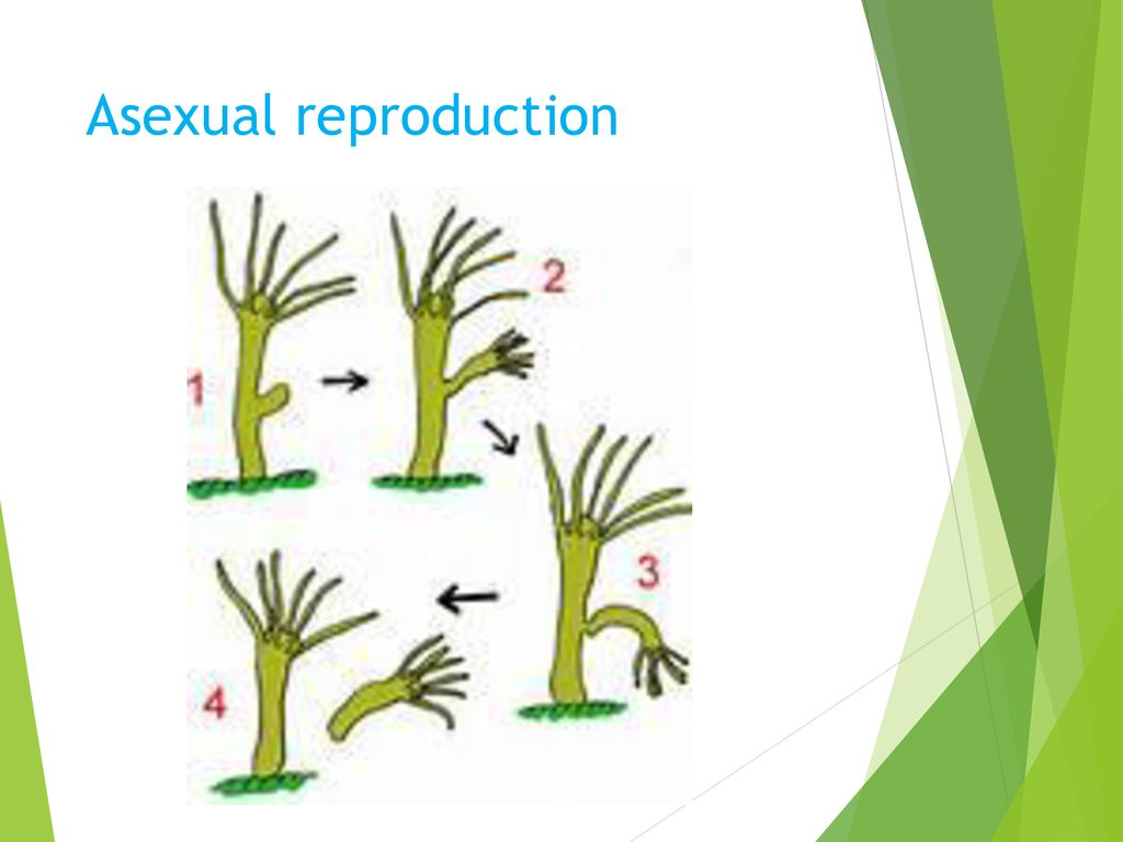 Cooksonia asexual reproduction