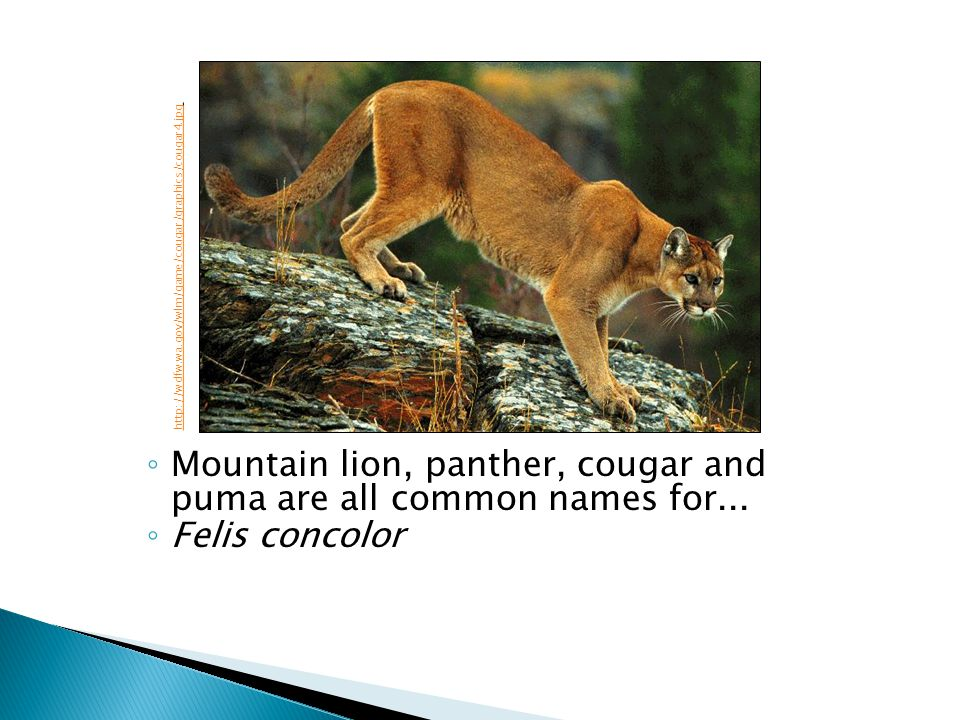 Mountain lion, panther, cougar and puma are all common names for...