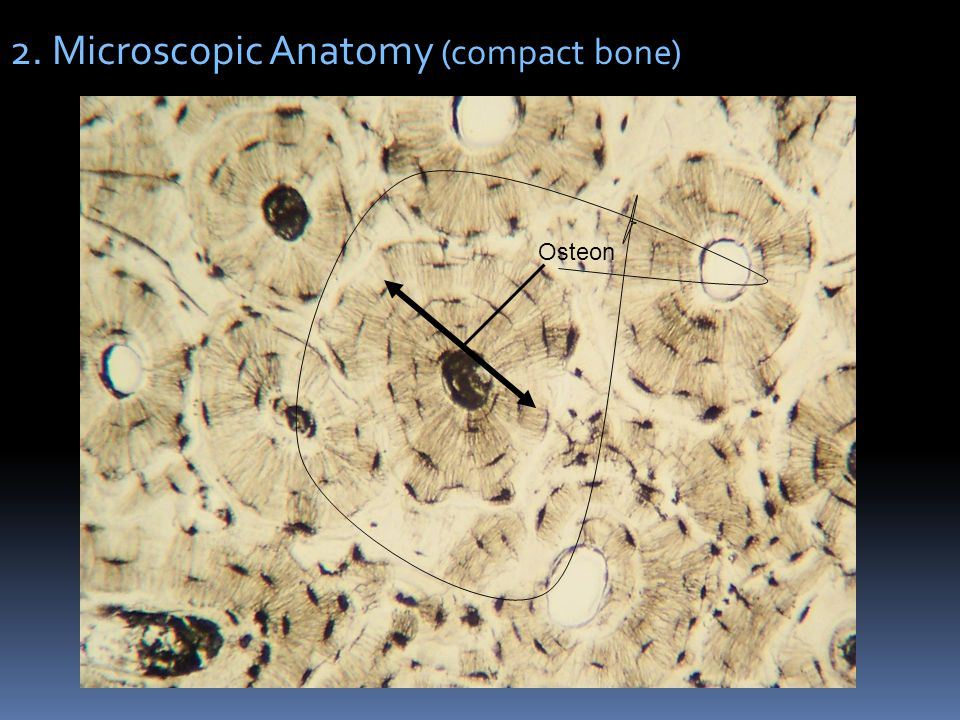 2. Microscopic Anatomy (compact bone)