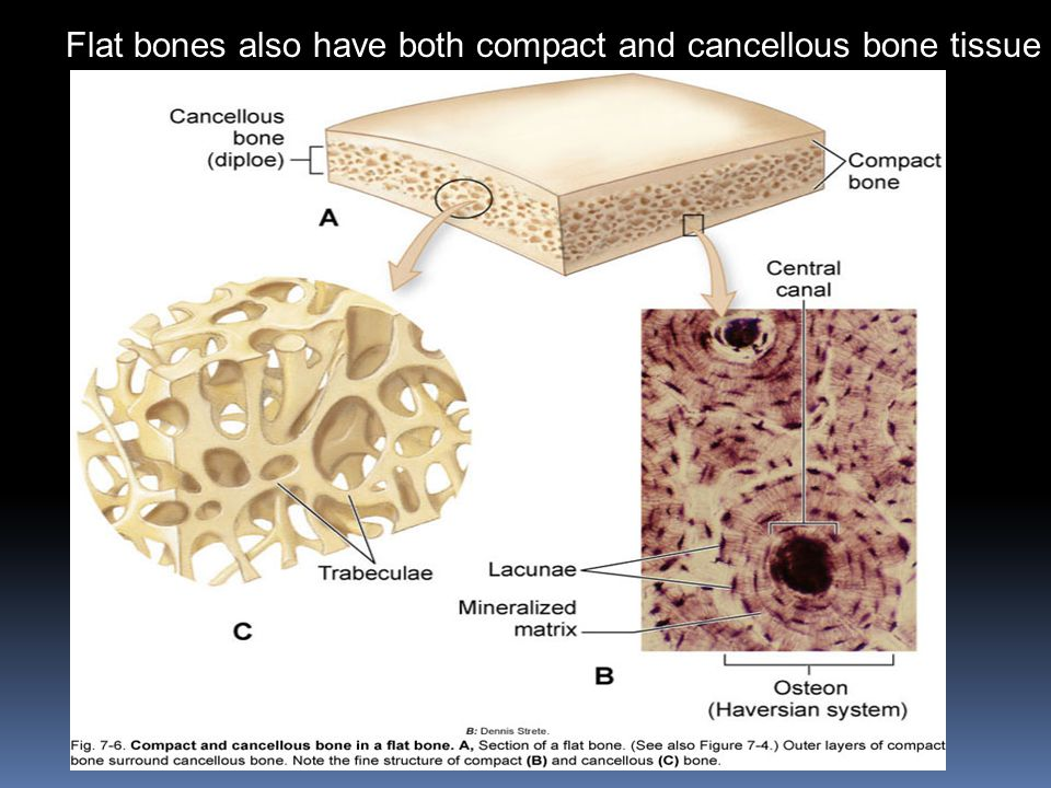 Flat bones also have both compact and cancellous bone tissue