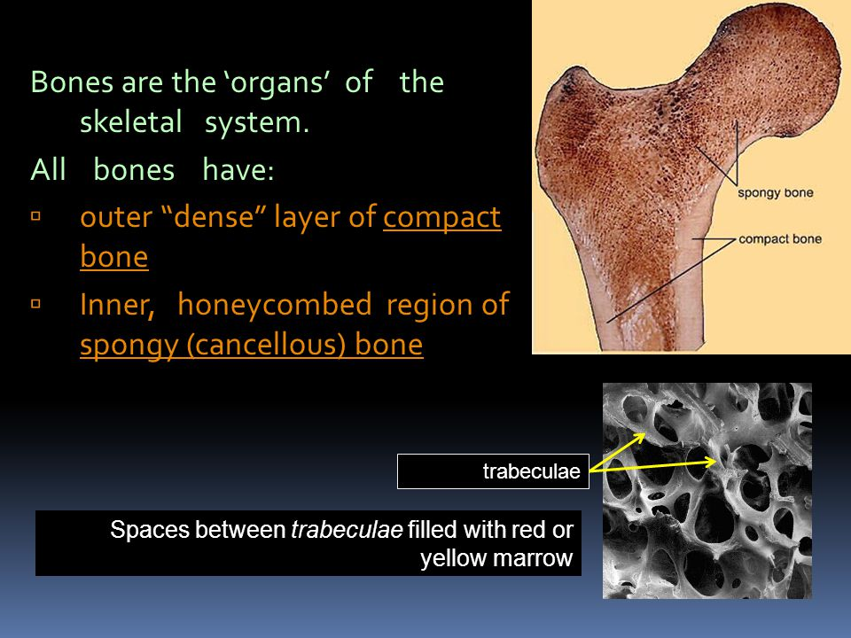 Bones are the 'organs' of the skeletal system. All bones have: