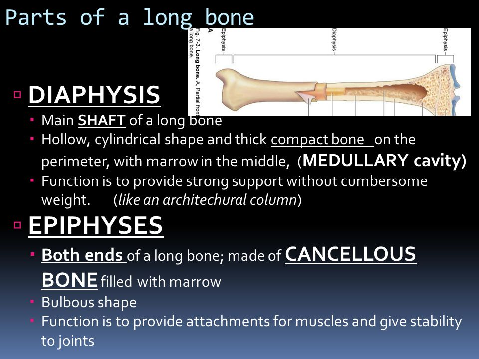 DIAPHYSIS EPIPHYSES Parts of a long bone