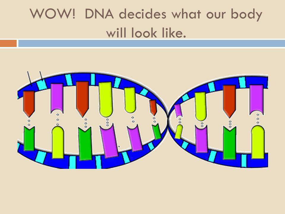 WOW! DNA decides what our body will look like.