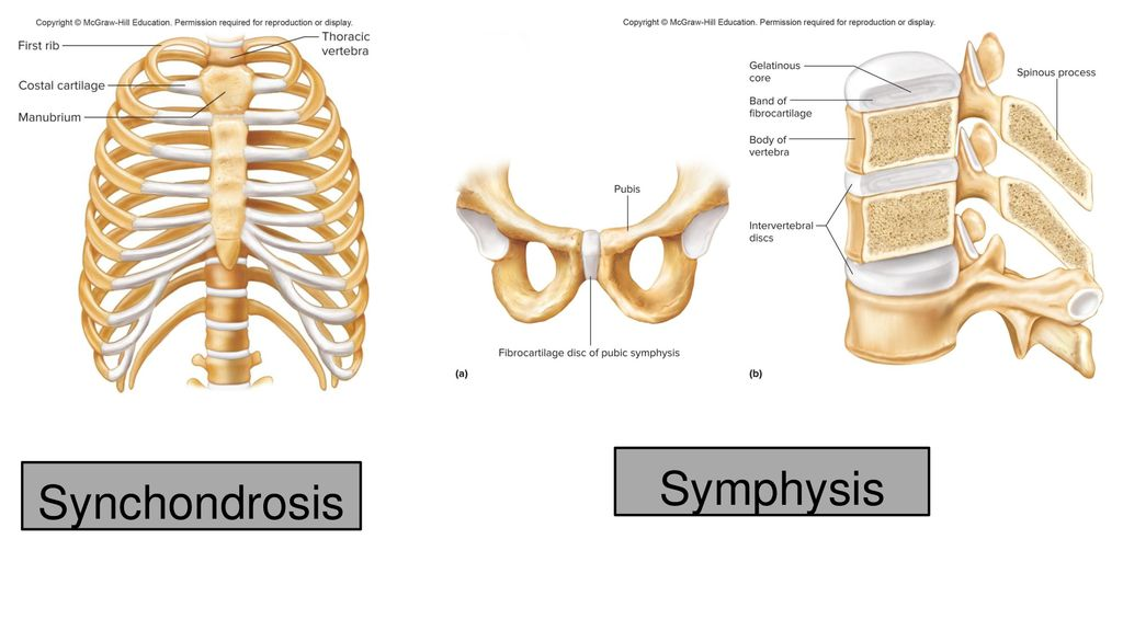 Ch 8 Joints Of The Skeletal System Ppt Download An example of a synchondrosis is the articulation of the. ch 8 joints of the skeletal system