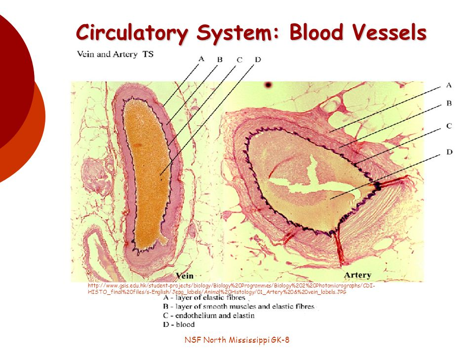 Circulatory System: Blood Vessels