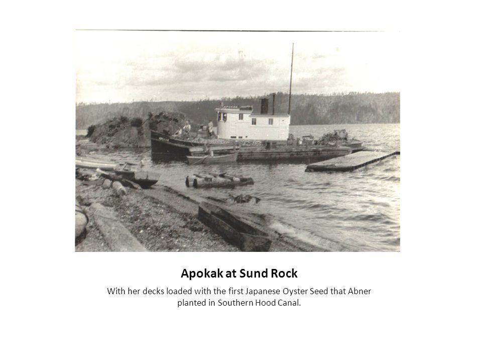 Apokak at Sund Rock With her decks loaded with the first Japanese Oyster Seed that Abner planted in Southern Hood Canal.