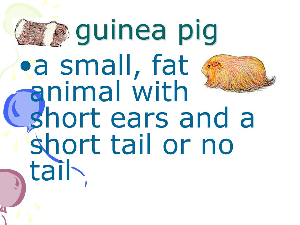 guinea pig a small, fat animal with short ears and a short tail or no tail