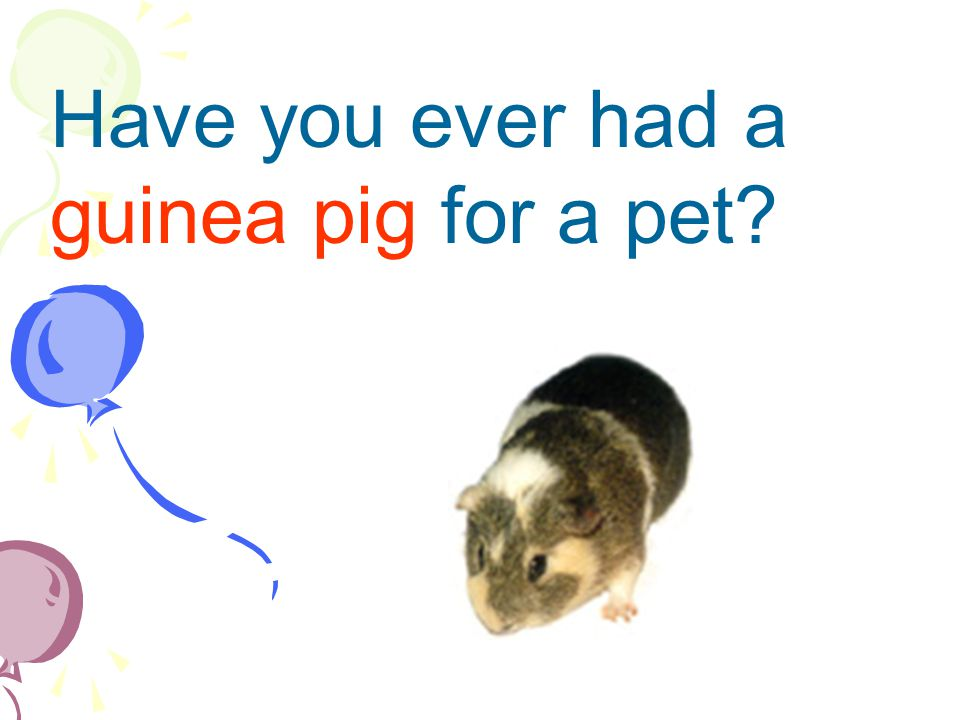 Have you ever had a guinea pig for a pet