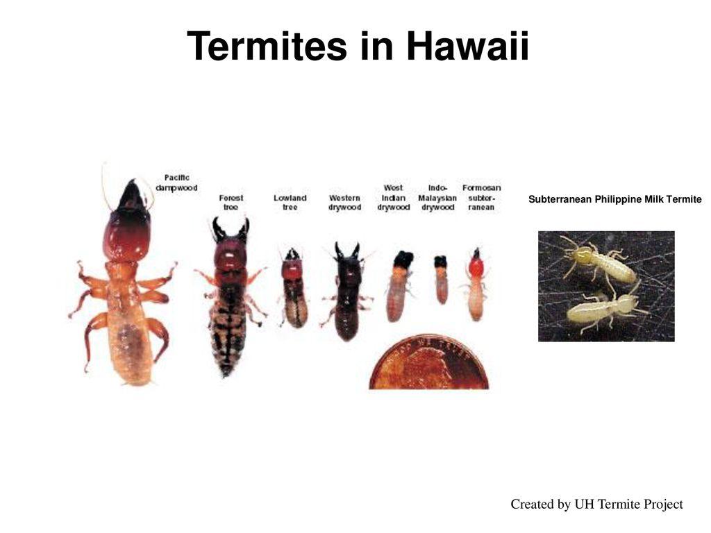 Benefits & Disadvantages of Termites - ppt download
