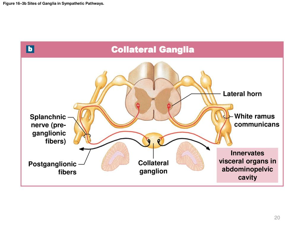 Figure 16–3b Sites of Ganglia in Sympathetic Pathways.
