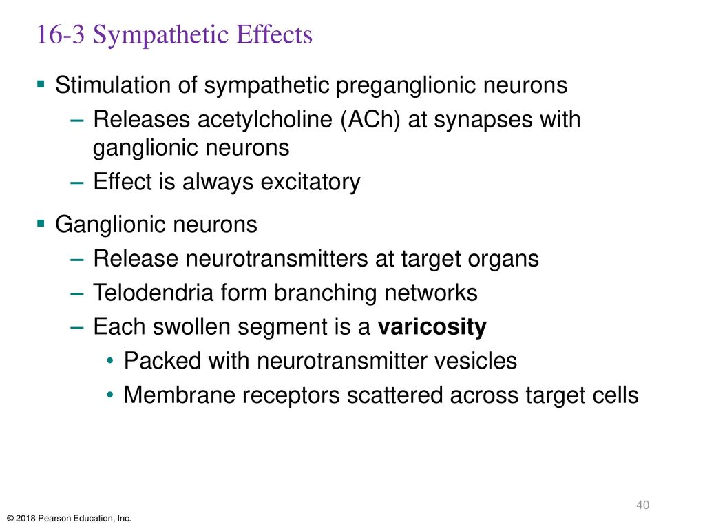 16-3 Sympathetic Effects Stimulation of sympathetic preganglionic neurons. Releases acetylcholine (ACh) at synapses with ganglionic neurons.