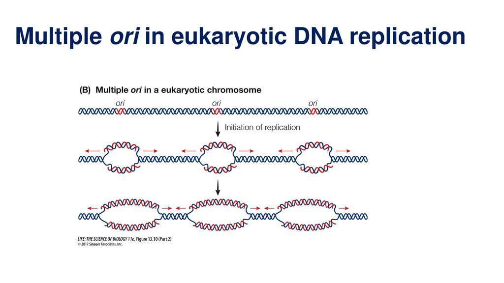 Chromosome, DNA replication and Repair - ppt download