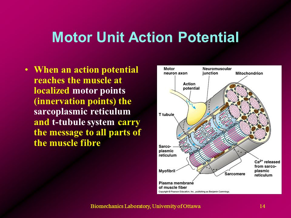 Motor Unit Action Potential