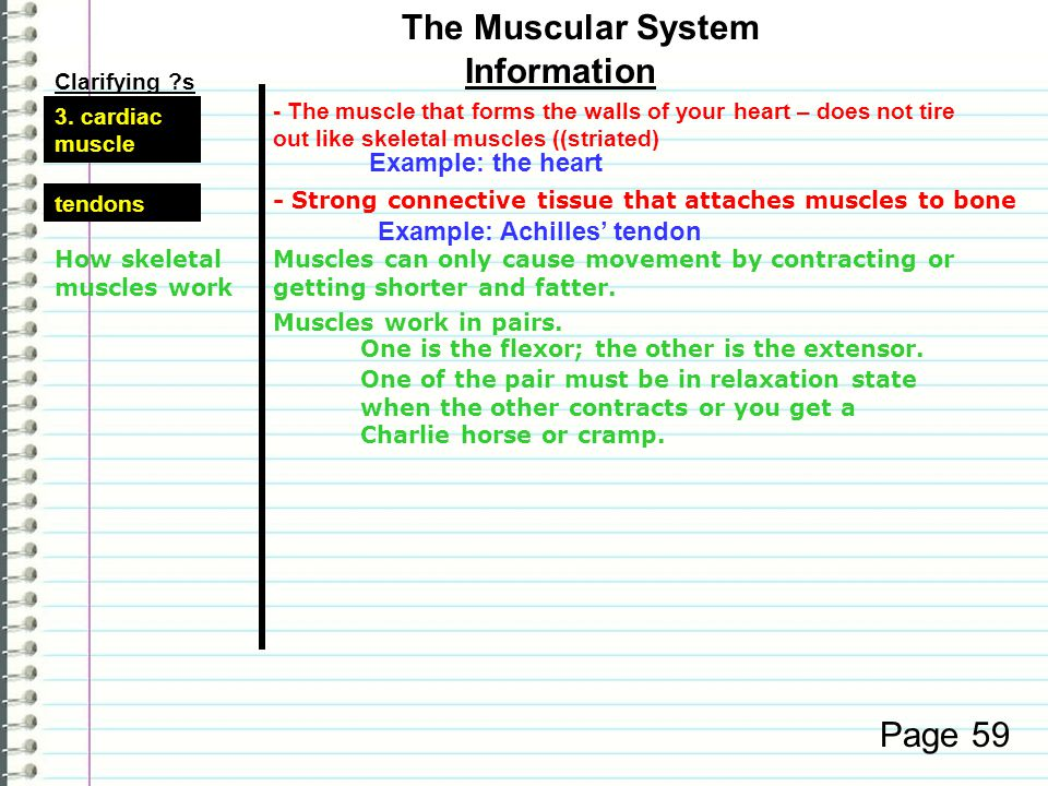 The Muscular System Information Page 59 Example: the heart