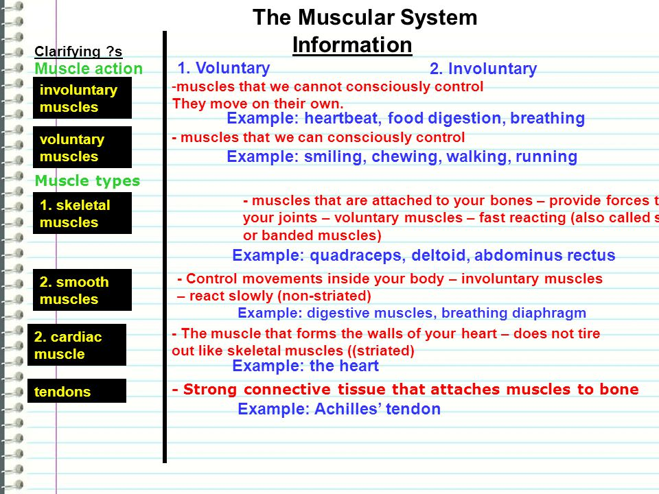 The Muscular System Information Muscle action 1. Voluntary